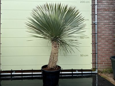 yucca rostrata stamhoogte 50/60cm