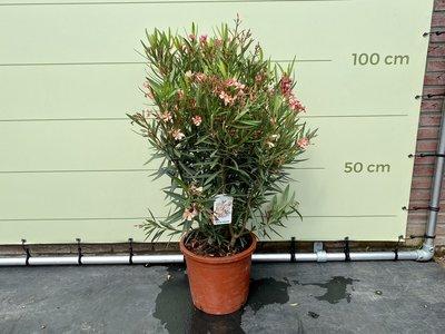 Zalm roze Oleander - Nerium Oleander - 120 cm