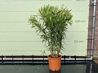 Gele Oleander - Nerium Oleander - 120 cm
