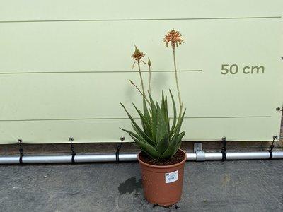 Aloe Perfoliata 70 cm