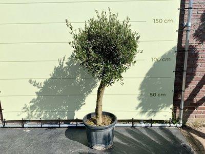 Olijfboom bolvorm gladde stam stamomvang 25 - 40cm