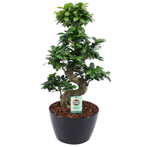 Ficus Gin Seng Bonsai met Zwart Keramiek (FGS25ZW)