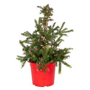 Bloeiende Kerstboom (Grevillea Red Salento)