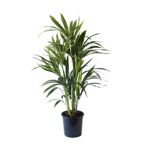 Kentia Palm (Howea Fosteriana)