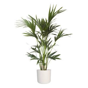 Kentia Palm in ® ELHO b.for soft sierpot (Kentia Palm)