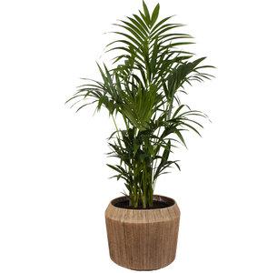 [NE en BE] Kentia Palm in Dangan sierpot (Howea Fosteriana)