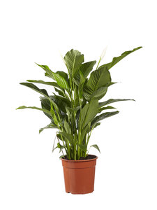 Lepelplant Spathiphyllum Sweet Lauretta (Lepelplant Spathiphyllum Sweet Lauretta)