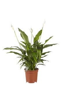 Lepelplant Spathiphyllum Vivaldi (Lepelplant Spathiphyllum Vivaldi)