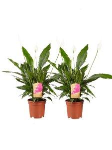 2 stuks Lepelplant Spathiphyllum Vivaldi (2 stuks Lepelplant Spathiphyllum Vivaldi)