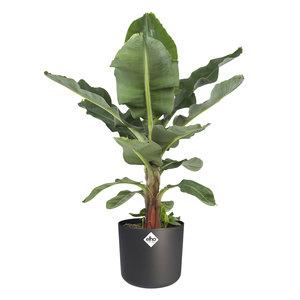 Musa in ® ELHO b.for soft sierpot (Musa Dwarf Cavendish)