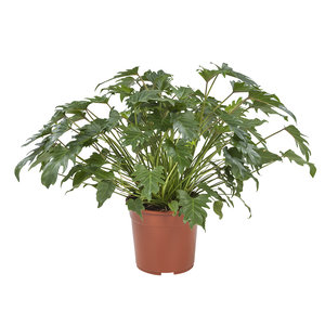 Philodendron Xanadu (Philodendron Xanadu)