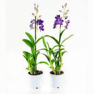 Dendrobium Sa-nook Bl Happiness (DSBH01F0CH)