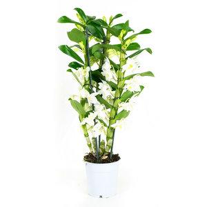 Dendrobium Nobile Apollon 3T (DNAP03B0I2)