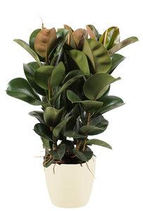 Ficus Elastica in ELHO sierpot (soap) (Ficus Elastica Cloe)