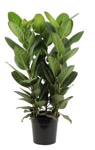 Ficus Audrey (Ficus Audrey)
