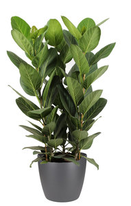 Ficus Audrey in ELHO sierpot (antraciet) (Ficus Audrey)