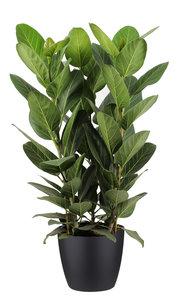 Ficus Audrey in ELHO sierpot (zwart) (Ficus Audrey)