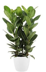 Ficus Audrey in ELHO sierpot (wit) (Ficus Audrey)