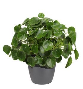 Pannenkoekenplant XL in ELHO sierpot (antraciet) (Pilea Peperomioides)