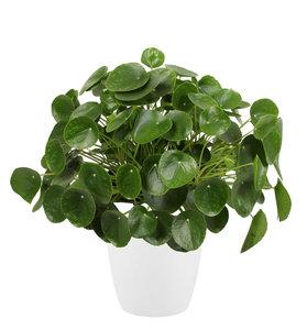 Pannenkoekenplant XL in ELHO sierpot (wit) (Pilea Peperomioides)