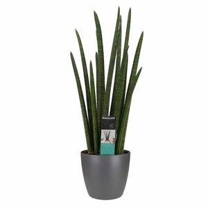 Decorum Sansevieria Cylindrica rocket met Elho brussels antracite ()