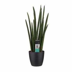 Decorum Sansevieria Cylindrica rocket met Elho brussels black ()