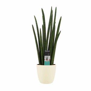 Decorum Sansevieria Cylindrica rocket met Elho brussels soap ()