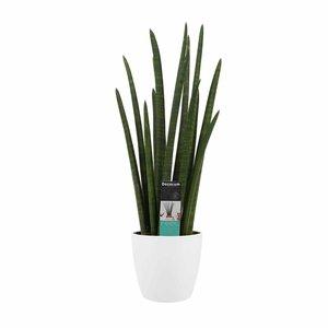 Decorum Sansevieria Cylindrica rocket met Elho brussels white ()