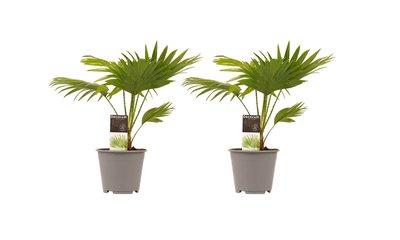 Decorum Duo 2 x Livistona Rotendifolia ()