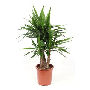 Yucca Elephantipes (Yucca elephantipes var. Gigantea )