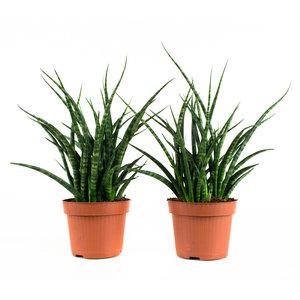 Sanseveria Fernwood Punky (Sansevieria)