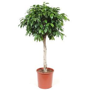 Ficus Columnar (Ficus benjamina columnar)