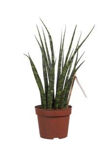 Sanseveria (Sanseveria Fernwood Mikado)