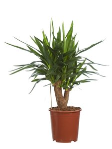 Yucca (Yucca elephantipes)