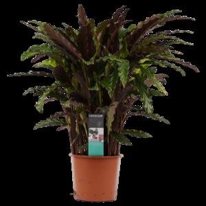 Decorum Calathea Elgergrass  (CAL17ELG30D01)