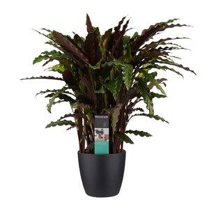Decorum Calathea Elgergrass met Elho brussels living black (CAL17ELG30D01)