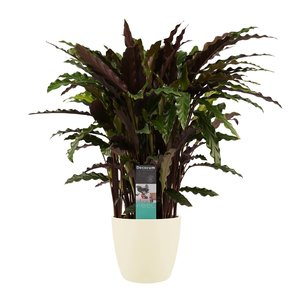 Decorum Calathea Elgergrass met Elho brussels soap (CAL17ELG30D01)