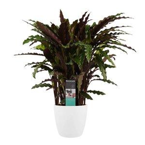 Decorum Calathea Elgergrass met Elho brussels white (CAL17ELG30D01)