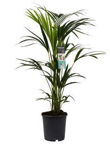 Decorum Kentia Palm ()