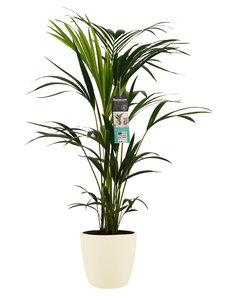 Decorum Kentia Palm - Elho brussels soap ()