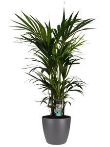Decorum Kentia Palm - Elho brussels antracite ()