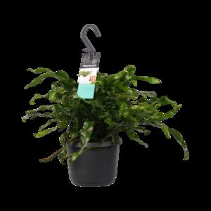 Decorum Microsorum diversifolium (Decorum Microsorum diversifolium)