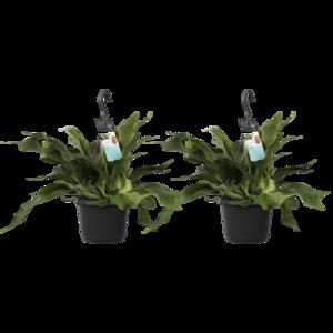 Decorum Duo Platycerium bifurcatum 'Netherlands' (Decorum Duo Platycerium bifurcatum 'Netherlands')