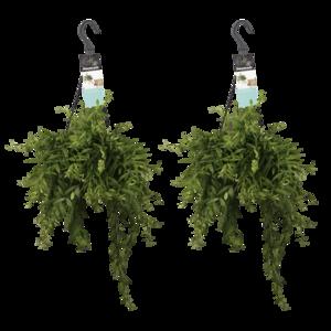 Decorum Duo Aeschynanthus japhrolepis (Decorum Duo Aeschynanthus japhrolepis)