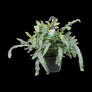 Decorum Phlebodium aureum 'Blue Star' (Decorum Phlebodium aureum 'Blue Star')