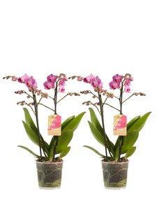 Phalaenopsis multiflora (Phalaenopsis multiflora Purple)