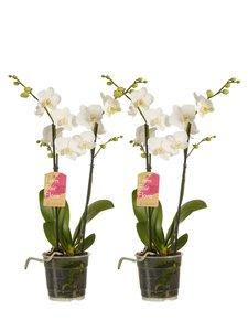 Phalaenopsis multiflora (Phalaenopsis multiflora white)