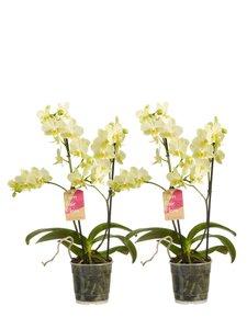 Phalaenopsis multiflora (Phalaenopsis multiflora yellow)