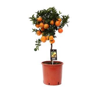 Citrus Mandarin (MANDARIN P22)