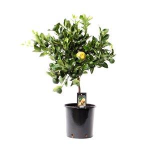 Citrus Pursha (PurschaP22)